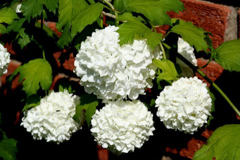 Old-Fashioned Garden Shrubs